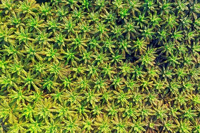 엄청난 면적의 열대우림이 이미 잘려나갔고, 그 과정에서 원주민들이 학살당했으며, 살아남은 사람들은 현대판 노예로 주변화되어 대대로 착취당하고 있다. 사진은 인도네시아 Sukabumi에 있는 팜 농장 전경. by Tom Fisk 출처 : www.pexels.com/ko-kr/photo/hd-hd-hd-2950868