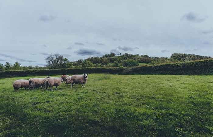 """15~16세기에 이르면 영국에 인클로저(Enclosure)가 널리 행하여졌다. """"양이 사람을 잡아먹는다""""는 말로 상징되는 이 운동은 잉글랜드 사람들이 방목을 하고 에스토버스를 취하던 땅에 울타리를 쳐서 출입을 삼가게 하는 것이었다. 토지 소유주들은 그 땅에서 양을 키웠다.  by Chanita Sykes  출처 : www.pexels.com/ko-kr/photo/1094534/"""