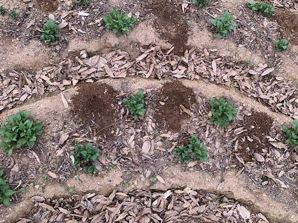 필자가 친구들과 운영하는 밭 '푸실'에 심었던 감자. 흙은 순환의 원천이다. 흙을 만지다 보면 무해한 방식으로 욕망이 해소된다. 사진제공 : 보배