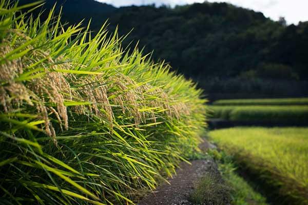 이 쌀 속에 햇빛과 바람과 이슬이 담겨 있음을, 심지어는 지렁이와 온갖 미생물의 노고가 담겨 있음을 알아야 한다. 풀 하나 돌 하나도 하늘이며, 나락 한알도 땅과 하늘이 없으면 여물지 않는다. by Jinomono Media  출처 : https://unsplash.com/photos/84JgyHGljkA